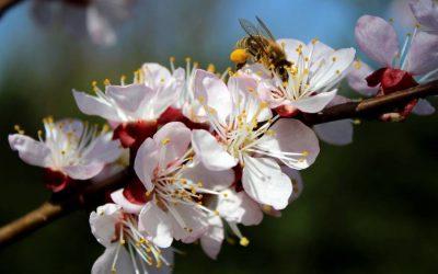 Kritikus időszak – a gyümölcsfák virágzása