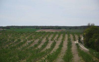 Fekete bodza szaporítása – avagy miből lesz az egészséges ültetvény?